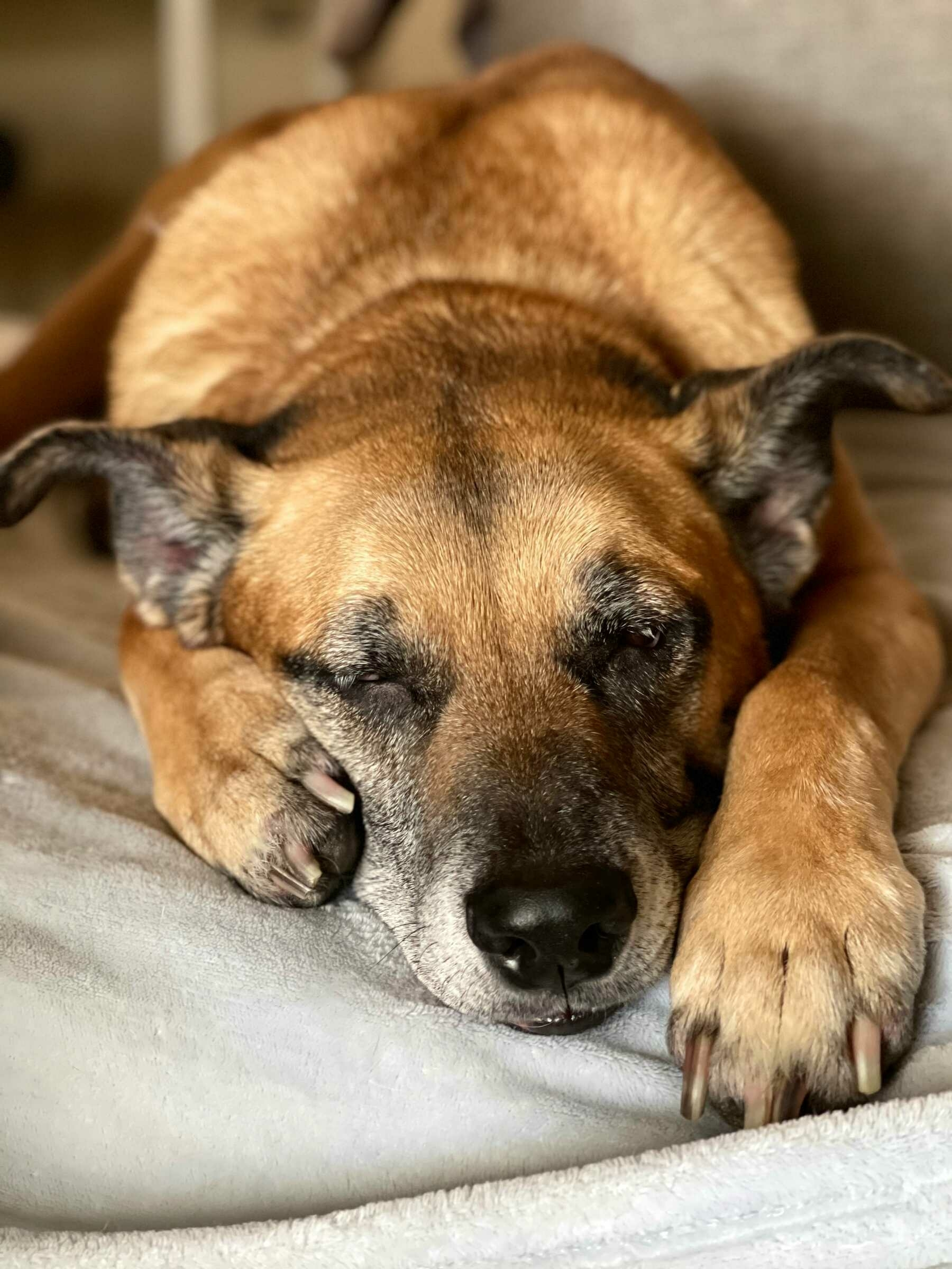 A large dog sleeping on a couch.